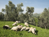 Sheep in Olive Grove  Patsos  Rethimnon (Rethymno) Region  Crete  Greek Islands  Greece  Europe