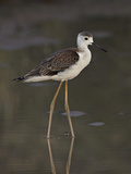 Immature Black-Winged Stilt (Himantopus Himantopus)  Kgalagadi Transfrontier Park  Encompassing For