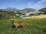 Goat in Spring Meadow  Agios Stefanos  Near Pefki  Lasithi Region  Crete  Greek Islands  Greece  Eu