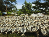 Fish Drying in the Sun at This South Coast Fishing Bay and Resort  Weligama  Near Matara  Southern 