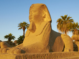 Sphinx Path  Temple of Luxor  Thebes  UNESCO World Heritage Site  Egypt  North Africa  Africa