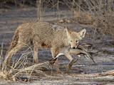 Coyote (Canis Latrans) with a Northernppintail (Anas Acuta) in its Mouth  Bosque Del Apache Nationa