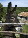 Donkey in Rural Setting  Cres Island  Kvarner Gulf  Croatia  Europe