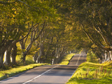 The Winding Road Through the Beech Avenue at Kingston Lacy  Dorset  England  United Kingdom  Europe
