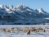 Elk (Cervus Canadensis) with Antlers  Snow-Covered Teton Mountains in the Background  Elk Wildlife