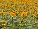 Fields of Sunflowers in the Loire Valley  France  Europe