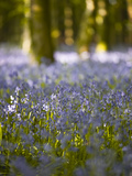 Bluebells  Hillfield Hill  Dorset  England  United Kingdom  Europe