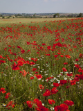 Poppy Field Near Mansfield  Nottinghamshire  England  United Kingdom  Europe