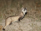 Black-Footed Ferret (American Polecat) (Mustela Nigripes) with Treated by Wildlife Biologist  Buffa