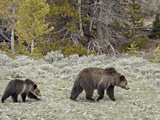 Grizzly Bear (Ursus Arctos Horribilis) Sow with a Yearling Cub  Yellowstone National Park  UNESCO W