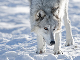 Alaskan Tundra Wolf (Canis Lupus Tundrarum) in Winter  Grizzly and Wolf Discovery Center  West Yell
