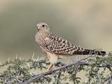 Immature Greater Kestrel (White-Eyed Kestrel) (Falco Rupicoloides)  Kgalagadi Transfrontier Park  F