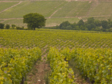 Vineyards  Prehy  Burgundy  France  Europe