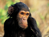 Young Chimpanzee Male  Gombe National Park  Tanzania