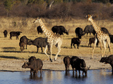 Giraffe and Cape Buffalo Drinking at Nyamandlove Pan  Hwange National Park  Zimbabwe