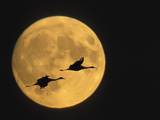 Sandhill Cranes Flying in Front of Full Moon  Bosque Del Apache National Wildlife Reserve
