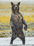 Grizzly Bear Cub Stands While Fishing   Geographic Harbor  Katmai National Park  Alaska  Usa