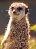 Meerkat (Suricata Suricatta)  a Small Mammal Belonging to the Mongoose Family  from the Kalahari De