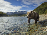 Grizzly Bear Walking Along Salmon Spawning Stream by Kinak Bay  Katmai National Park  Alaska  Usa