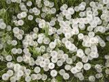 Common Dandelion  Springtime  Mantova/Mantua  Italy