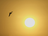 Silhouette of Flying Ring-Billed Gull at Sunrise  Merritt Island National Wildlife Refuge