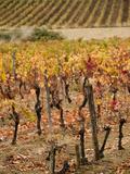 Vineyard in Autumn  Gaillac  Tarn Department  Midi-Pyrenees Region  France