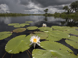 Water Lilies (Nymphaea Lotus) Along Kwando River During Rainy Season  Namibia  Africa