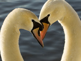 Courtship Display of Mute Swans  Cygnus Olor  Stanley Park  British Columbia  Canada