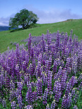 River Lupine and Oregon White Oak Tree  Bald Hills  Redwood National Park  California  Usa