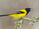 Audubon's Oriole (Icterus Graduacauda) Adult Perched  Starr Co  Texas  Usa