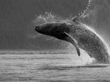 Humpback Whale Breaching  Chatham Strait  Angoon  Tongass National Forest  Alaska  Usa