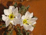 Birdcage Evening Primrose Near Page  Arizona  Usa