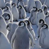 Emperor Penguin (Aptenodytes Forsteri) Chicks on Ice  Snow Hill Island  Antarctica