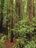 Muir Woods National Monument  Redwood Forest  California  Usa