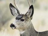 Mule Deer  Buck  Idaho  Usa