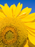 Sunflower and Blue Sky Portsmouth  New Hampshire  Usa