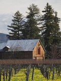 Vineyard in Winter  Rutherford  Napa Valley Wine Country  Northern California  Usa
