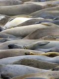 Northern Elephant Seals  Mirounga Angustirostris  San Simeon State Park  California  Usa
