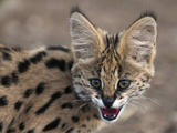 Young Captive Serval Cat  Hoedspruit Endangered Species Centre  Kapama Game Reserve  South Africa