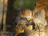 Great Horned Owls at Nest Site in Defiance  Ohio  Usa
