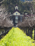 Vineyard in Winter  Rubicon Estate Vineyard  Rutherford  Napa Valley Wine Country  California  Usa