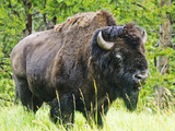 American Buffalo  Yellowstone National Park  Wyoming  Usa