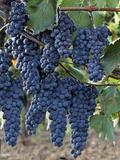 Lush Grapes Ready for Harvest  Near Pienza  Italy  Tuscany
