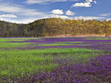 Large Field of Henbit Flowers in Full Bloom  Kentucky  Usa