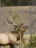 Male Elk Rubbing Antlers on Evergreen Tree  Yellowstone National Park  Wyoming  Usa