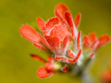 Common Red Paintbrush  California  Usa