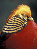 Golden Pheasant  South Africa