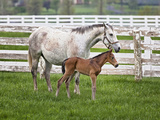Female Thoroughbred and Foal  Donamire Horse Farm  Lexington  Kentucky
