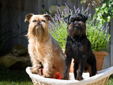 Two Brussels Griffon Standing in a Laundry Basket Outside in Front of Flower Pot