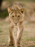 Close-Up of Young Male Lion in Kalahari Desert  Kgalagadi Transfrontier Park  South Africa